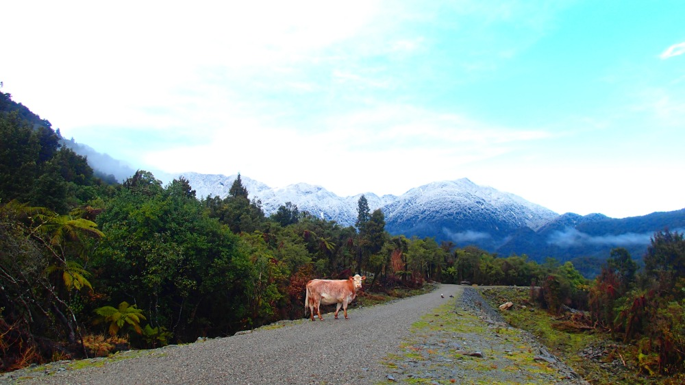 cow on the cycleway